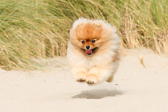 pom cloud (Pomaroo) Tags: shadow dog beach grass tongue happy flying jumping sand action outdoor small naturallight sunny running pomeranian flint