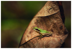 Little Tree Frog (Vin PSK) Tags: mygearandme mygearandmepremium mygearandmebronze mygearandmesilver
