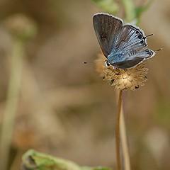 Iridescent blue-gray upper wings of darting Mallow Scrub-Hairstreak (jungle mama) Tags: hairstreak mallowscrubhairstreak supershot specanimal abigfave archcreek waltheria northmiamifl coth5 blinkagain archcreekeastenvironmentalpreserve