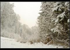 Forêt de Saffnern or blanc (jd.echenard) Tags: schnee winter snow hiver neige forêt seeland cantondebern orpund orblanc meinisberg saariysqualitypictures saffnern