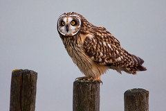 Velduil Short-eared Owl Asio flammeus (ronald groenendijk) Tags: nature birds vogels natuur owl birdsofprey uil shortearedowl asioflammeus roofvogels uilen velduil