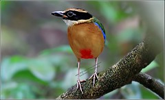 Blue-winged Pitta (Ericbronson's Photography) Tags: bird nature canon interesting singapore wildlife pitta bluewinged ericbronson mygearandme mygearandmepremium mygearandmebronze