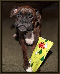 Busted (metherit) Tags: dog pet canon 1d coloradosprings present boxer chrismas metherit