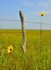 Hedge Post With Sunflower Audience (thefisch1) Tags: sun flower green yellow stone sunrise fence nikon calendar post hedge sunflower kansas prairie flinthills fenceline stonefence hedgepost
