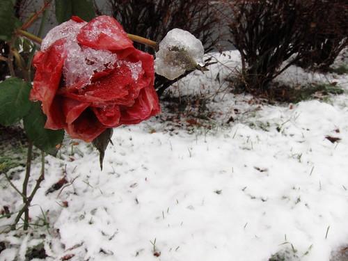Frozen rozen