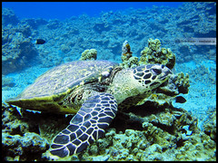 Turtle (Sunbound) Tags: coral japan turtle diving tropical okinawa zamami
