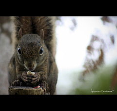 (Adriana Casellato) Tags: animal rj natureza animais itatiaia esquilo foco serelepe hoteldoype adrianacasellato