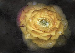 Textured Ranunculus (GracetheScene2010 (Astrid Ewing Photography)) Tags: fantasticflower