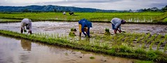 Planting Rice (8181) (TheHouseKeeper) Tags: field farmers farm philippines agriculture launion mateo pinoy agricultural pilipinas palay plantingrice agri thehousekeeper teampilipinas georgemateo itsmorefuninthephilippines