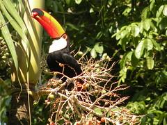 Toco Toucan (ChrisCarioca) Tags: brazil rio brasil riodejaneiro toucan jardimbotanico botanicalgarden toco tucano