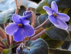 alla finestra : Violetta Santa Paula (aldofurlanetto) Tags: finestra viola explore8gennaio2012