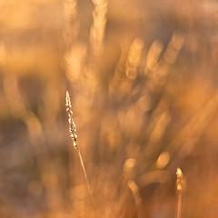 Golden ear (Antonio Carrillo (Ancalop)) Tags: espaa flower macro grass canon square de 50mm gold la spain europa europe dof bokeh mark f14 flor murcia cruz ii desenfoque 5d usm lopez antonio minimalist carrillo 1x1 oro minimalista caravaca ancalop