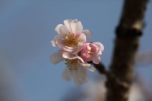 Prunus × subhirtella cv. Autumnalis
