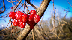 Nominative (Kalyna Harasymiv) Tags: red sky macro nature berries kalyna komarnoukrainetravelwinter