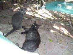 Jugando (patriciamura) Tags: chile pet animalitos animal animals cat gato felino animales catz mascota mascotas gatito copiapo minino micifuz