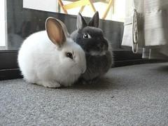 Ahh the time when Mochi was smaller than Bink! (so said ellie) Tags: bunnies netherlanddwarf
