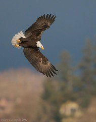 Attacking Dive (Garebear400) Tags: wild bird nature fly eagle flight bald diving attacking haliaeetus leucocephalus specanimal avianexcellence mothernaturesgreenearth eagles1gd7345