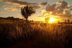 Sunrise in the Outback (Kokkai Ng) Tags: park morning trees sky plants sun sunlight nature grass sunrise dawn bush desert cloudy australia nobody national outback uluru backlit katatjuta olgas northernterritory ayersrock yulara bushland ulurukatatjutanationalpark