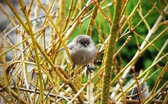 Bushtit (liquidnight) Tags: winter cute birds animals oregon portland bare wildlife branches small birding tiny round urbanwildlife perch pdx laurelhurst birdwatching bushtit