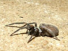 Desidae>Badumna insignis Black House Spider DSCF64231B (Bill & Mark Bell) Tags: exmouth westernaustralia australia geo:town=exmouth geo:state=westernaustralia geo:country=australia geo:lon=11425453egeolat2217752sgeoalt8m 11425453e2217752salt8m taxonomy:kingdom=animalia animalia taxonomy:phylum=arthropoda arthropoda taxonomy:class=arachnida arachnida taxonomy:order=araneae araneae taxonomy:family=desidae desidae taxonomy:genus=badumna badumna insignis taxonomybinomialnamebadumnainsignis badumnainsignis taxonomycommonnameblackhousespider blackhousespider spider animal fauna