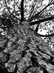Tree Bark (seathelight_fineart) Tags: sky bw tree nature leaves closeup branches perspective bark cracks seathelight photosarchive25012012