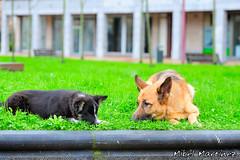 LISS Y NAI (08/01/2.012) (Mikel Martinez Buenetxea) Tags: espaa can perros bordercollie mascota gipuzkoa zarautz pastoraleman nikond700 nikon70200vrii nikon70200mmf28gedvrii nikkor70200vrii nikkor70200f28gedvrii