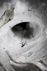 This is the Ant!!! (moksimil) Tags: net spider leaf web ant theend tunnel duell spinne blatt angst rivals netz ameise finalfight schlimm schluss wolfsspinne bossfight endgegner dasende daswarsdannwohl moksimil macromondaysmonochrome