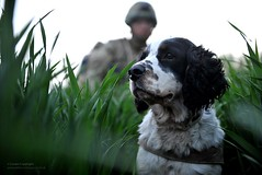 Military Working Dog in Afghanistan (Defence Images) Tags: uk dog afghanistan animal army military canine british op springerspaniel operation campaign defense handler defence afganistan personnel herrick helmand mwd lashkargah ieds cied militaryworkingdog
