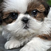 Shih Tzu dog care