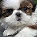 Shih Tzu dog care