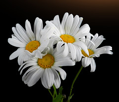 Neat and clean (*Gitpix*) Tags: flowers white flower color macro nature four petals nikon blossom natur blumen fresh clean coolpix bunch sauber neat marguerite blume makro blte weiss bund vier bltenbltter gettyimages strauss farben blten frisch quartett margerite schick margeriten margueriten neatandclean