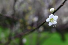 IMG_6045 (Sandor's Album) Tags: flowers flower blossom plum hsinchu taiwan       nationaltsinghuauniversity drmeimemorialgarden