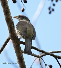 Dulidae: Dulus dominicus - Cigua Palmera - Palmchat (Pericles Brea) Tags: paseriformes dulidae dulus dulusdominicus palmchat ciguapalmera santodomingo repblicadominicana dominicanrepublic endmica bird p193 l43