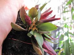 Dryadella aviceps (Micro-orquídeas Roberto Martins) Tags: de galeria mini micro orquídeas venda exposição coleção dryadella permuta orquidáceas microorquídeas aviceps robertomicroorquideas robertomicros robertoorquideas