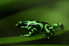 Green-and-black poison dart frog (.OhSoBoHo) Tags: sanfrancisco goldengatepark black macro green nature canon rainforest costarica dof bokeh amphibian 100mm frog herp reptiles californiaacademyofsciences herpetology greenandblackpoisondartfrog landlife canoneos40d academylovelife2012 lovelife2012