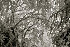"""intrappolato...nel freddo EXPLORE 01/02 ("""" paolo ammannati """") Tags: italy snow me alberi forest italia top natura ombre cielo tuscany neve toscana 1001nights inverno radici verna biancoenero rami bosco casentino ghiaccio foresta faggio galaverna paoloammannati effettinaturali 1001nightsmagiccity fotoconneve panoramaconneve"""