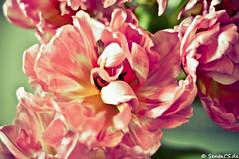 Flower (sentacs) Tags: flowers plants plant flower color colors colorful tulips blossom pflanzen blumen tulip blume blüte bunt tulpen tulpe lightroom blüten 50mm18 blühen pfalnze d90 blühend faben schnittblumen