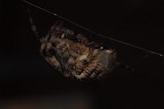 eight legged freaks (artaj007) Tags: macro animal night insect 50mm spider nikon web ringflash d90 extensiontubes nikond90