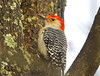 Male red-bellied woodpecker (dedayrace) Tags: woodpecker redbelliedwoodpecker maleredbelliedwoodpecker dougdayphotography peregrino27life