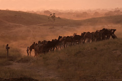 Camels Returning Home... (Captain Suresh Sharma) Tags: countryside dusk camels rajasthan beaut ruralindia pushkarcattlefair herdofcamels