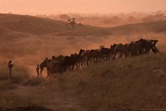 Camels Returning Home... (Captain Suresh Sharma) Tags: countryside dusk camels rajasthan beaut ruralindia pushkarcattlefair herdofcamels