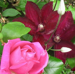 June combo (:: attend ::) Tags: pink plant flower green leaves rose contrast garden outside petals purple outdoor maroon clematis magenta glossy bloom buds combination rougecardinal morningjewel morningjewelrose