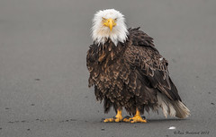 If Looks Could Kill... (Happy Photographer) Tags: summer beach alaska eagle baldeagle angry homer ruffledfeathers happyphotographer amyhudechek