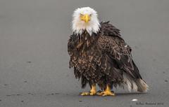 If Looks Could Kill... (Amy Hudechek Photography) Tags: summer beach alaska eagle baldeagle angry homer ruffledfeathers happyphotographer amyhudechek