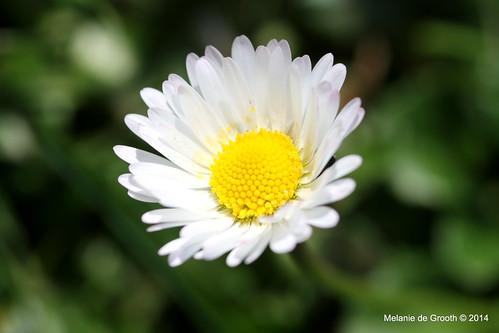 White Daisy 2