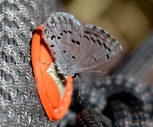 macro butterfly insect hiking gray mariposa smokies smokymountains schmetterling hairstreak farfalle trailside