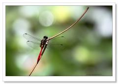 Fiery Skimmer Dragonfly-5229 (Barbara J H) Tags: dragonfly australia qld imbil barbarajh maryvalley orthetrumvillosovittatum fieryskimmerdragonfly yabbasprings