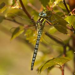 hairy dragonfly (roly2008.) Tags: canon dragonfly wildlife dorset 100400mm odonata hairydragonfly