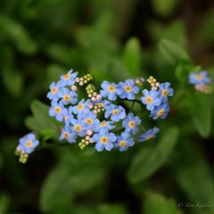 Tear-colored bouquet /  (yanoks48) Tags: flower japan  forgetmenot  kanagawa kawasaki     higashitakaneshinrinpark