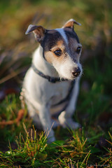 Winter Can't Be Over... (mc_icedog) Tags: park sunset dog pet colors field grass animal jack evening spring russell bokeh illumination shallow depth